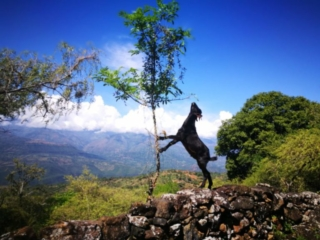 Goat having lunch - Barichara to Guane