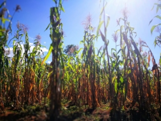 Corn fields in the midday sun, Camino Real, Colombia