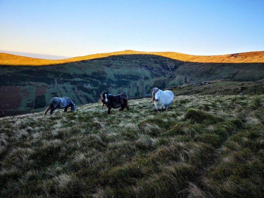 Carneddau mountain ponies